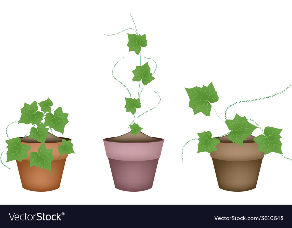 Three fresh ivy gourd in ceramic flower pots vector | Price: 1 Credit (USD $1)