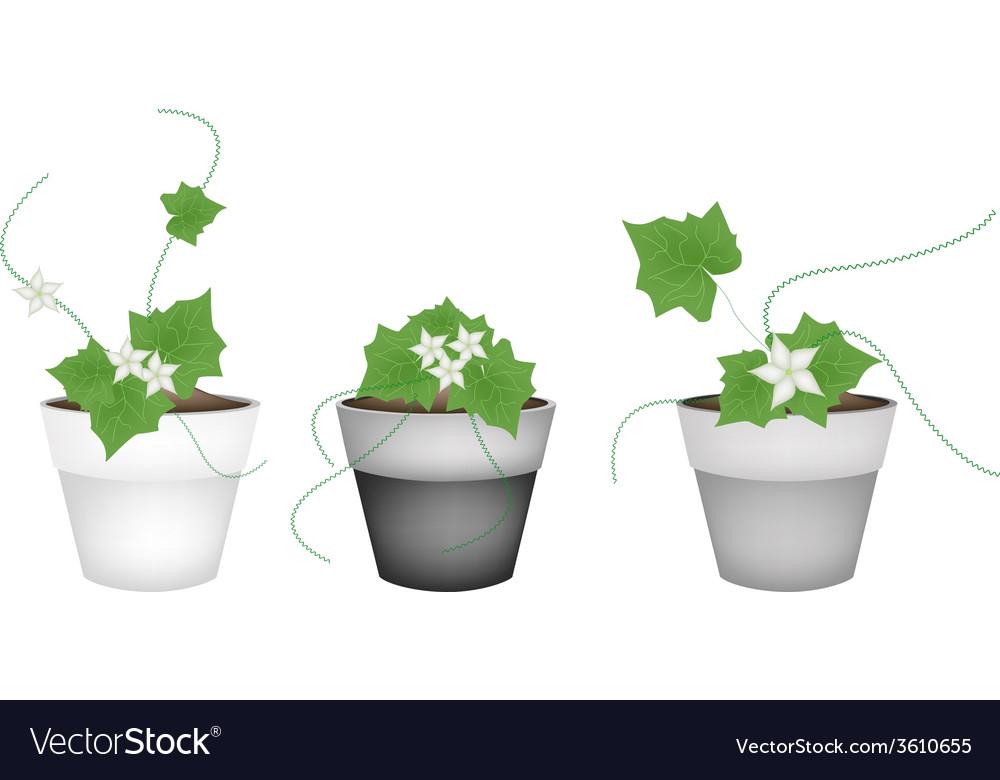 Three ivy gourd in ceramic flower pots vector | Price: 1 Credit (USD $1)