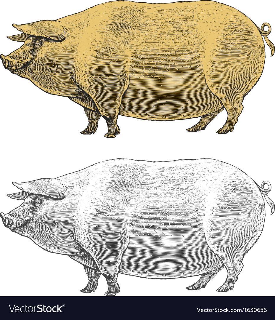 Pig or swine in vintage engraved style vector | Price: 1 Credit (USD $1)