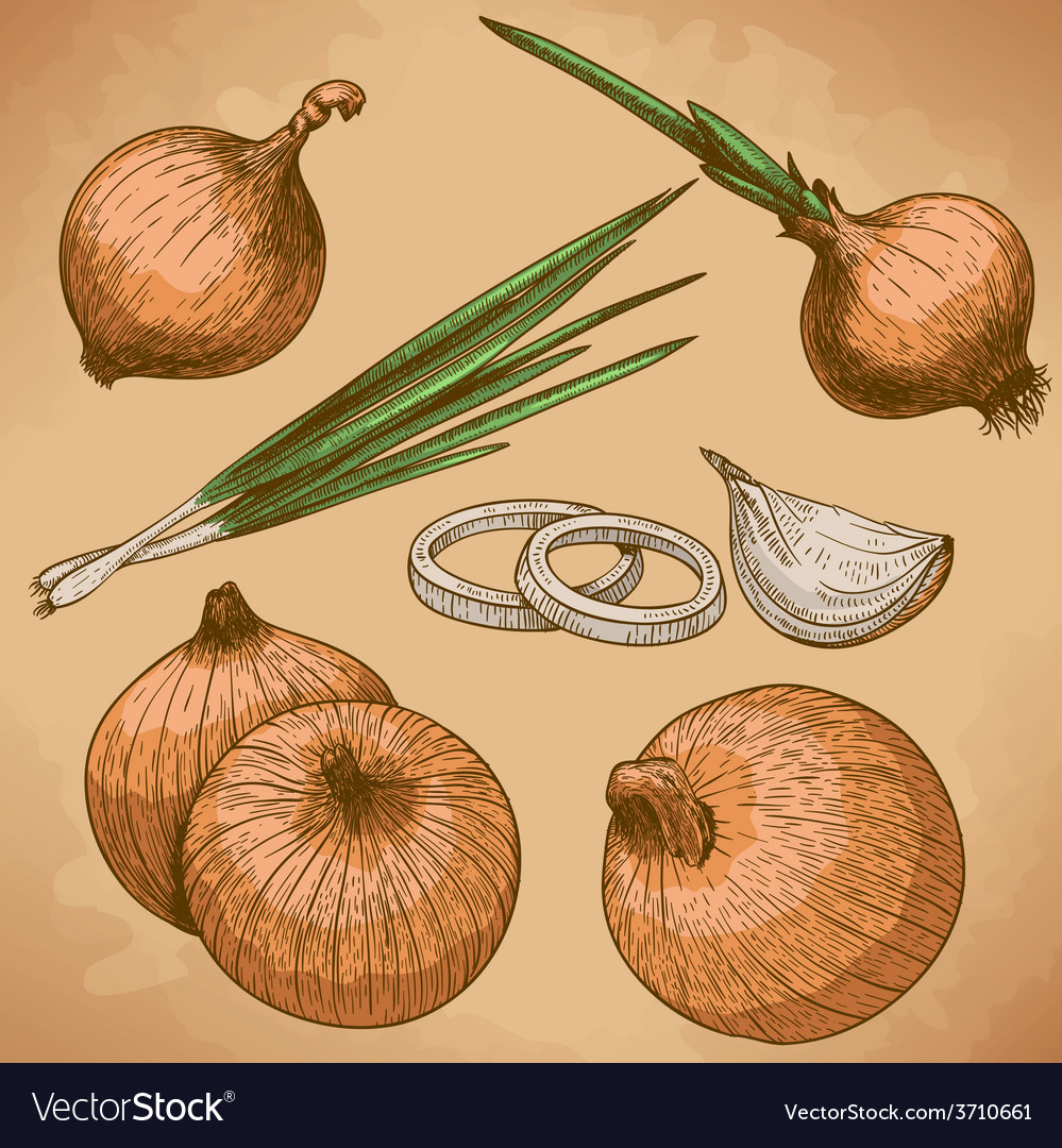 Engraving onion retro vector | Price: 1 Credit (USD $1)