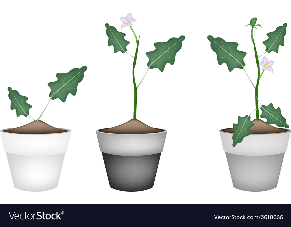 Green eggplant tree in ceramic flower pots vector | Price: 1 Credit (USD $1)