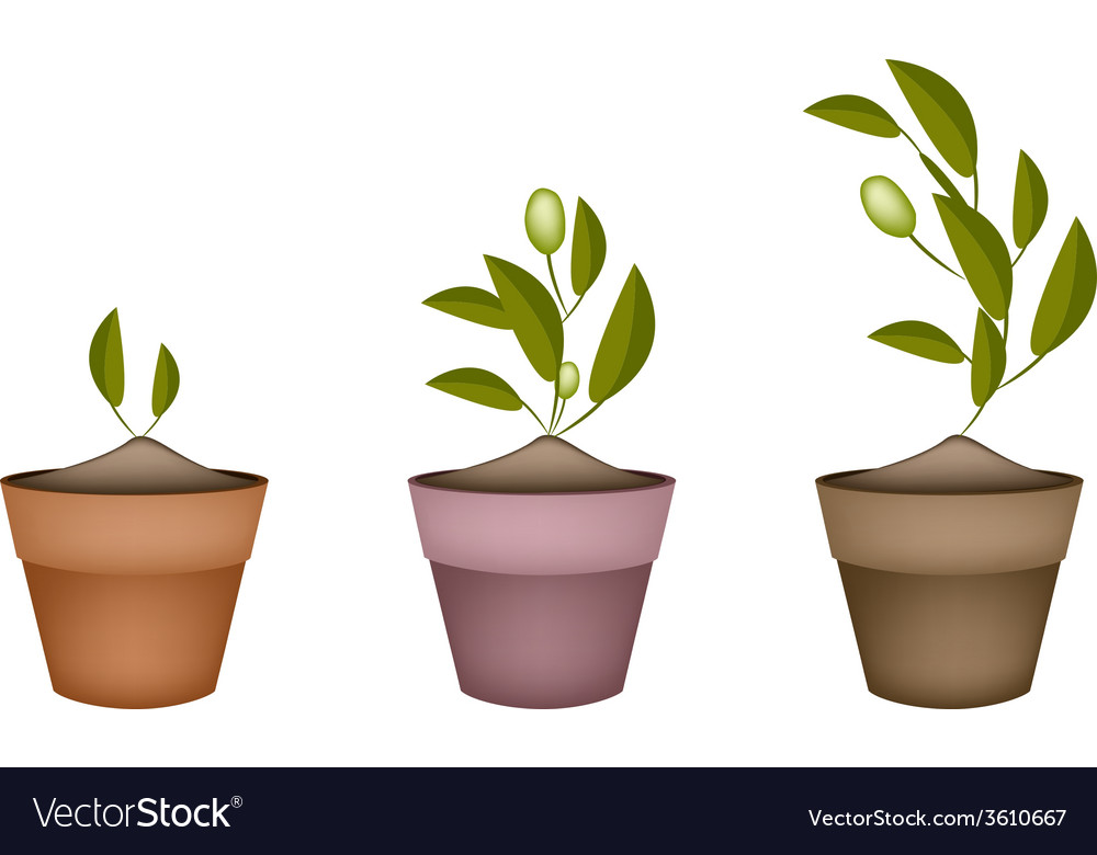 Three olives tree in ceramic flower pots vector | Price: 1 Credit (USD $1)