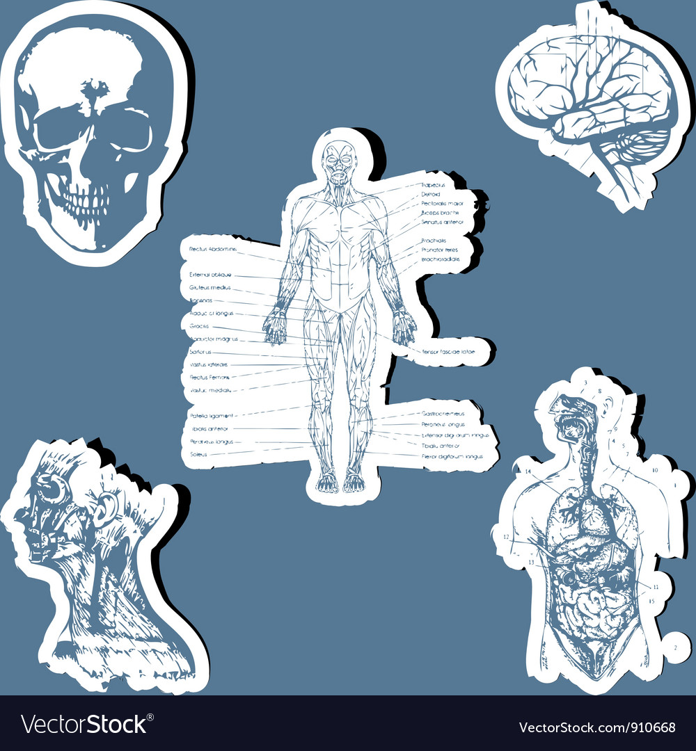 Human anatomy vector | Price: 1 Credit (USD $1)