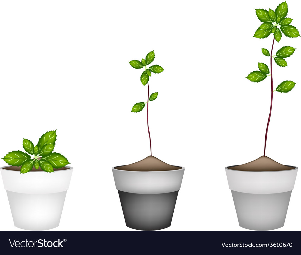 Fresh thai basil plant in ceramic flower pots vector | Price: 1 Credit (USD $1)