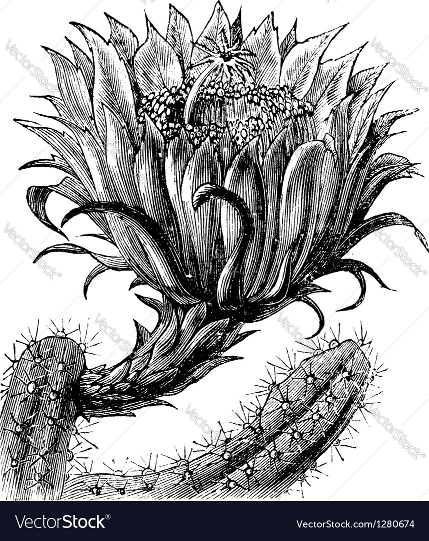 Nightblooming cereus vintage engraving vector | Price: 1 Credit (USD $1)