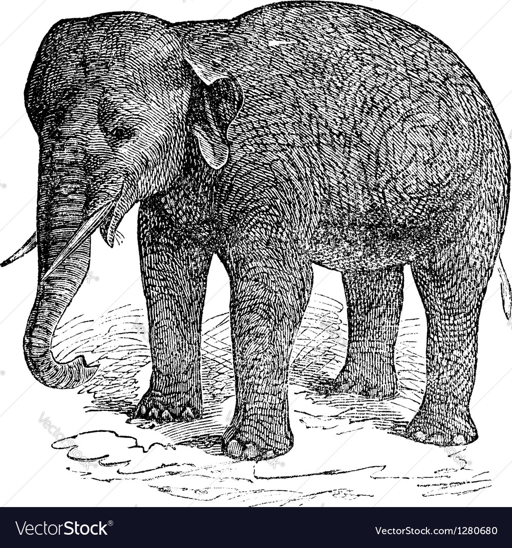 Asian elephant vintage engraving vector | Price: 1 Credit (USD $1)