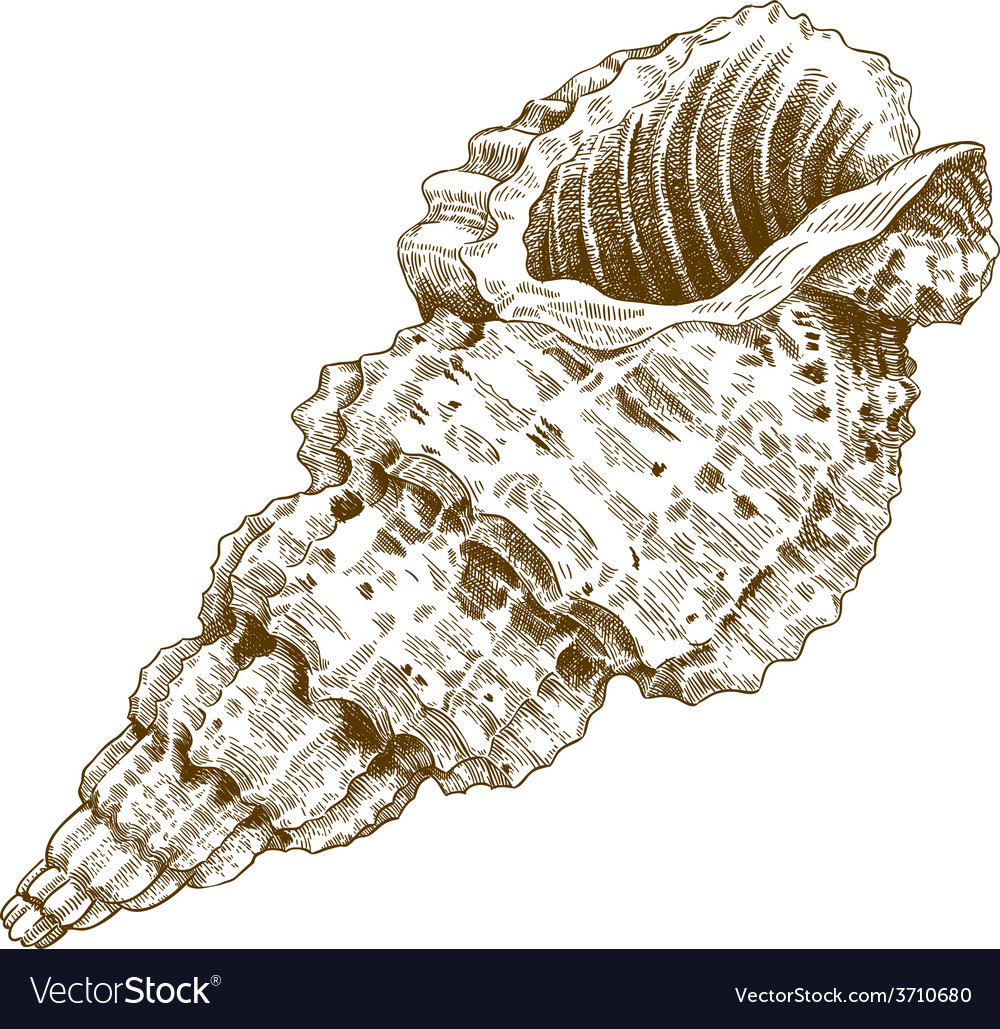 Engraving shell vector | Price: 1 Credit (USD $1)