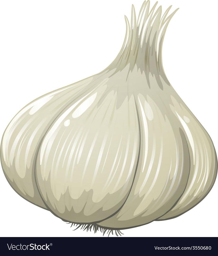 Garlic vector | Price: 1 Credit (USD $1)
