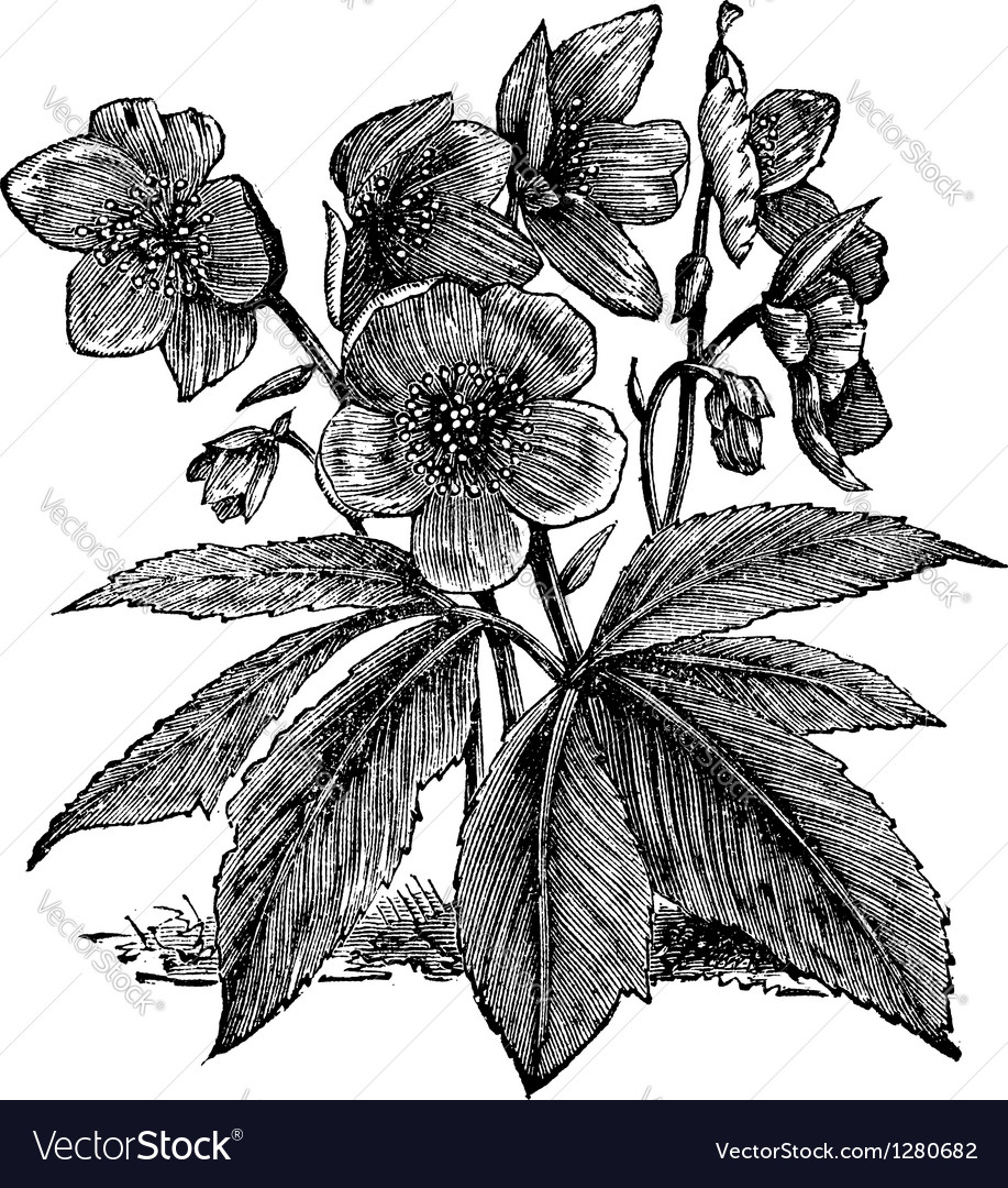 Black hellebore vintage engraving vector | Price: 1 Credit (USD $1)