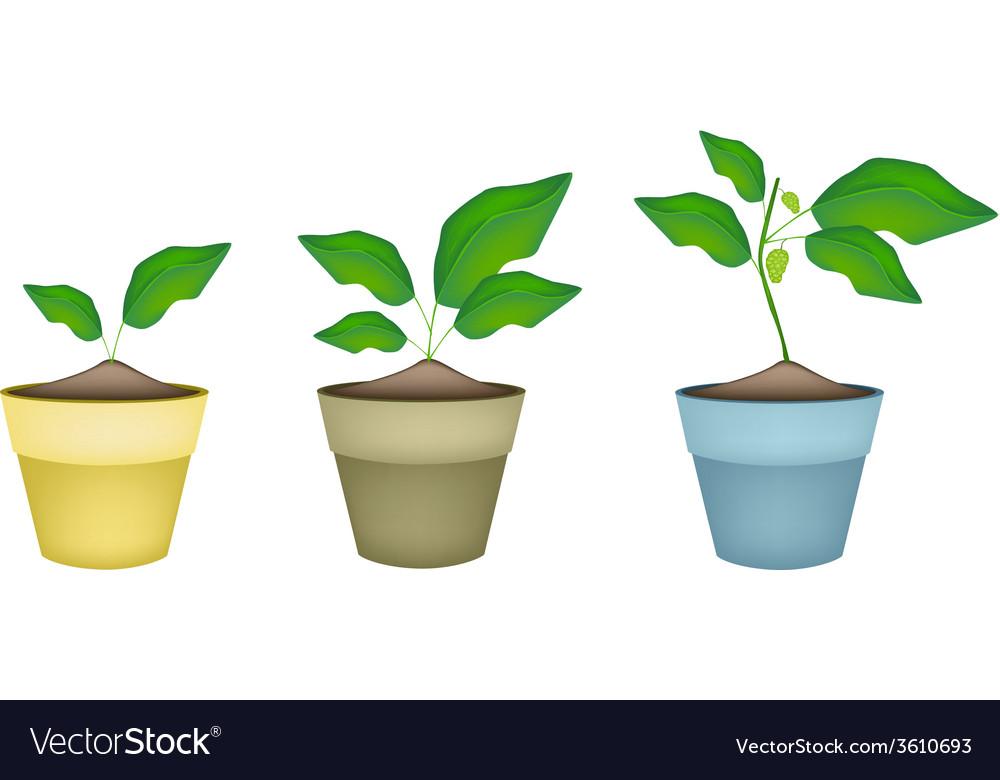 Noni or morinda citrifolia tree in ceramic pots vector | Price: 1 Credit (USD $1)