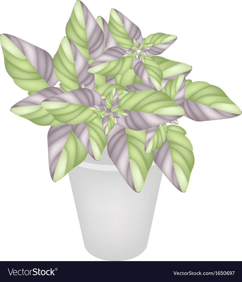 Beautiful acanthaceae plant in a flower pot vector | Price: 1 Credit (USD $1)