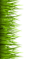 Green grass lawn isolated on white floral eco vector