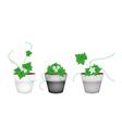 Three ivy gourd in ceramic flower pots vector