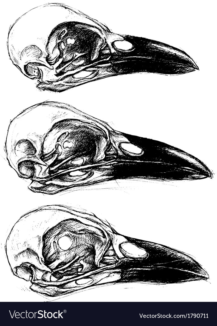 Crow skull vector | Price: 1 Credit (USD $1)