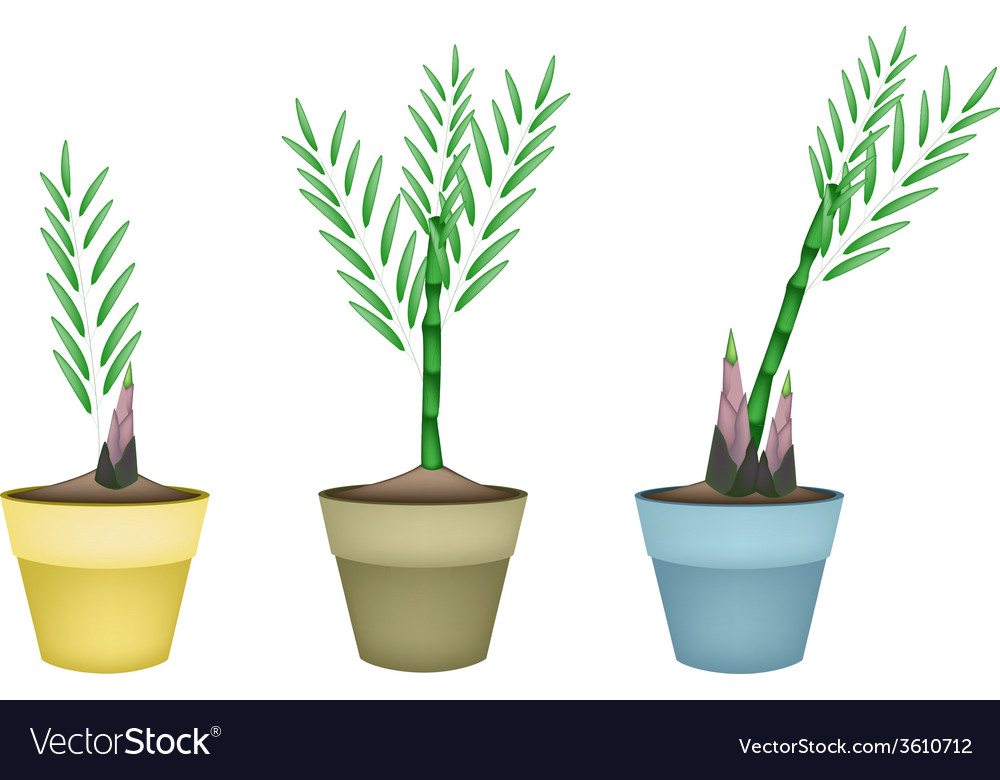 Fresh bamboo plants in ceramic flower pots vector | Price: 1 Credit (USD $1)