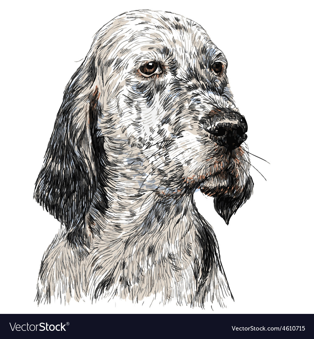 English setter 01 vector | Price: 3 Credit (USD $3)