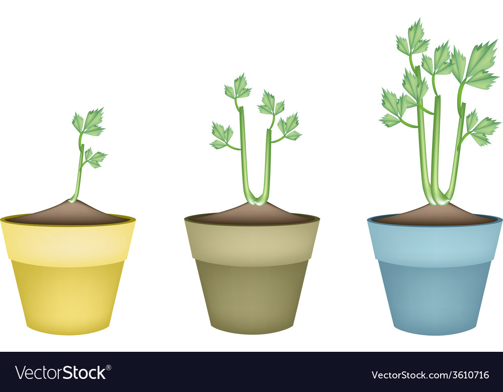 Fresh celery root in ceramic flower pots vector | Price: 1 Credit (USD $1)