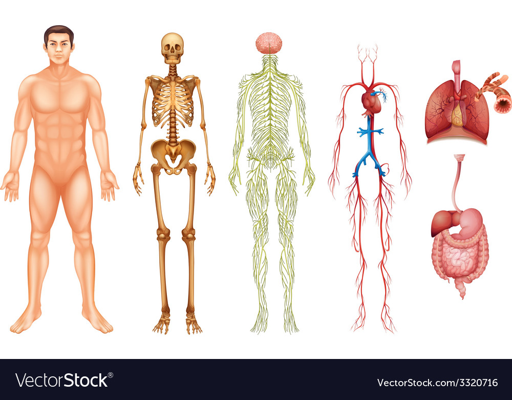 Human body systems vector | Price: 3 Credit (USD $3)