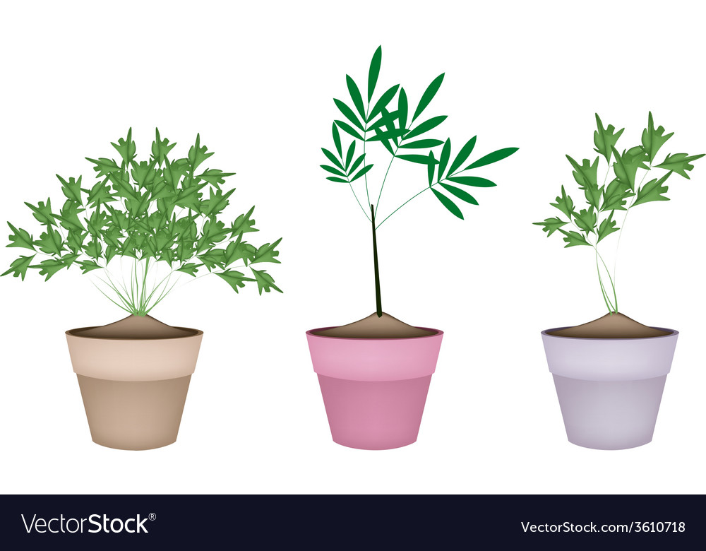 Green parsley plant in ceramic flower pots vector | Price: 1 Credit (USD $1)