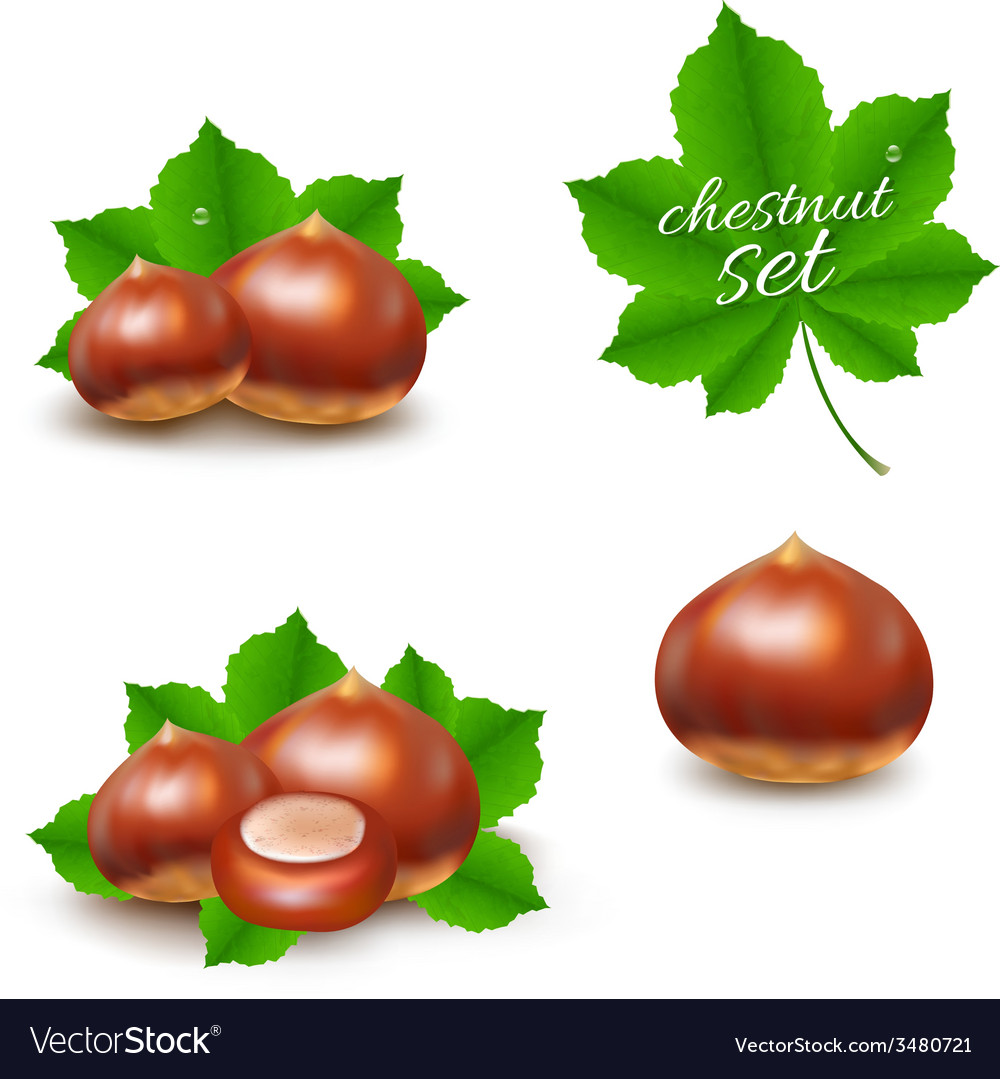 Chestnuts set vector | Price: 1 Credit (USD $1)
