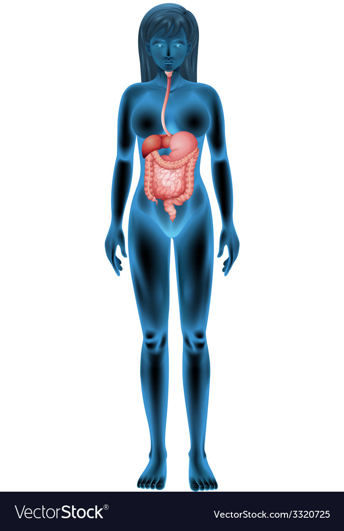 Female digestive system vector | Price: 3 Credit (USD $3)