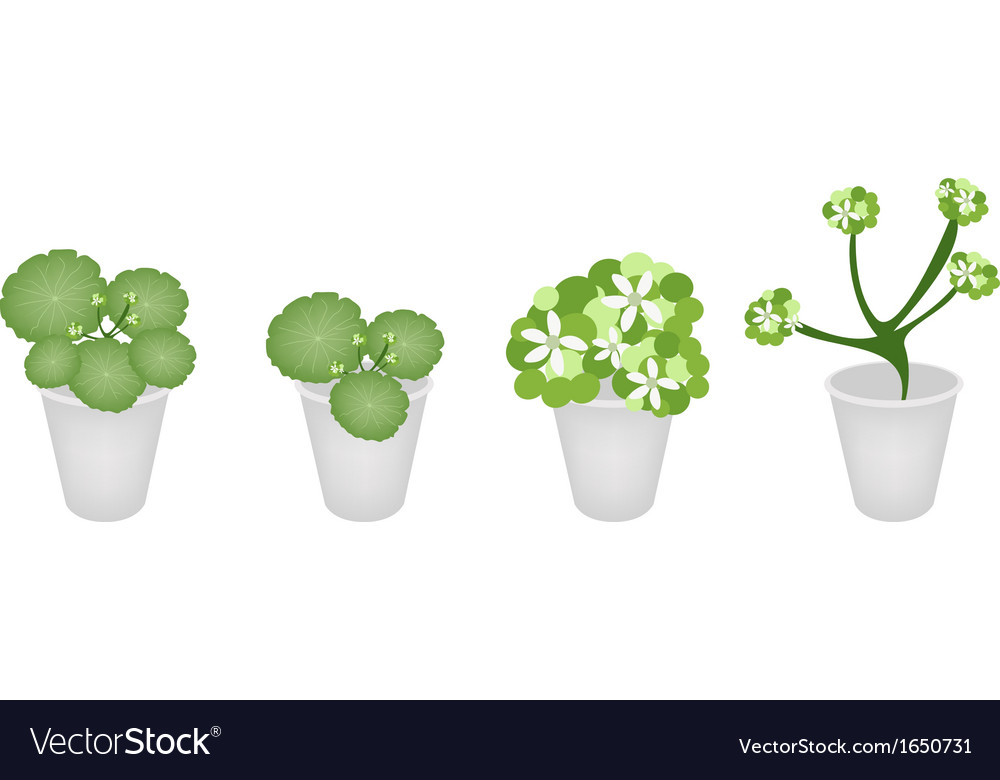 A set of asiatic pennywort in a flower pot vector | Price: 1 Credit (USD $1)