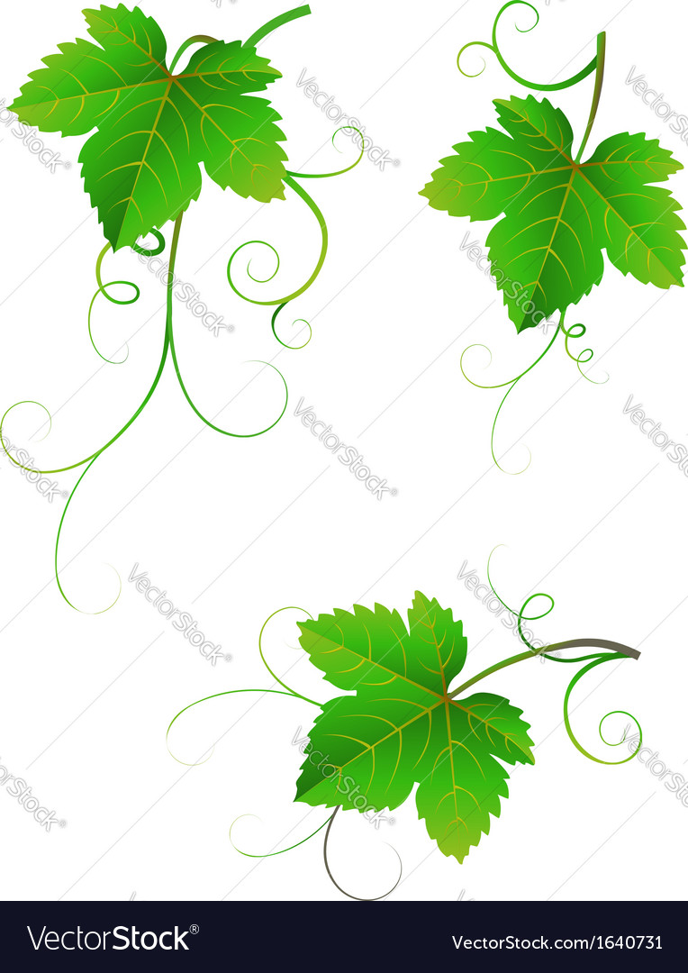 Grape leaves vector | Price: 1 Credit (USD $1)
