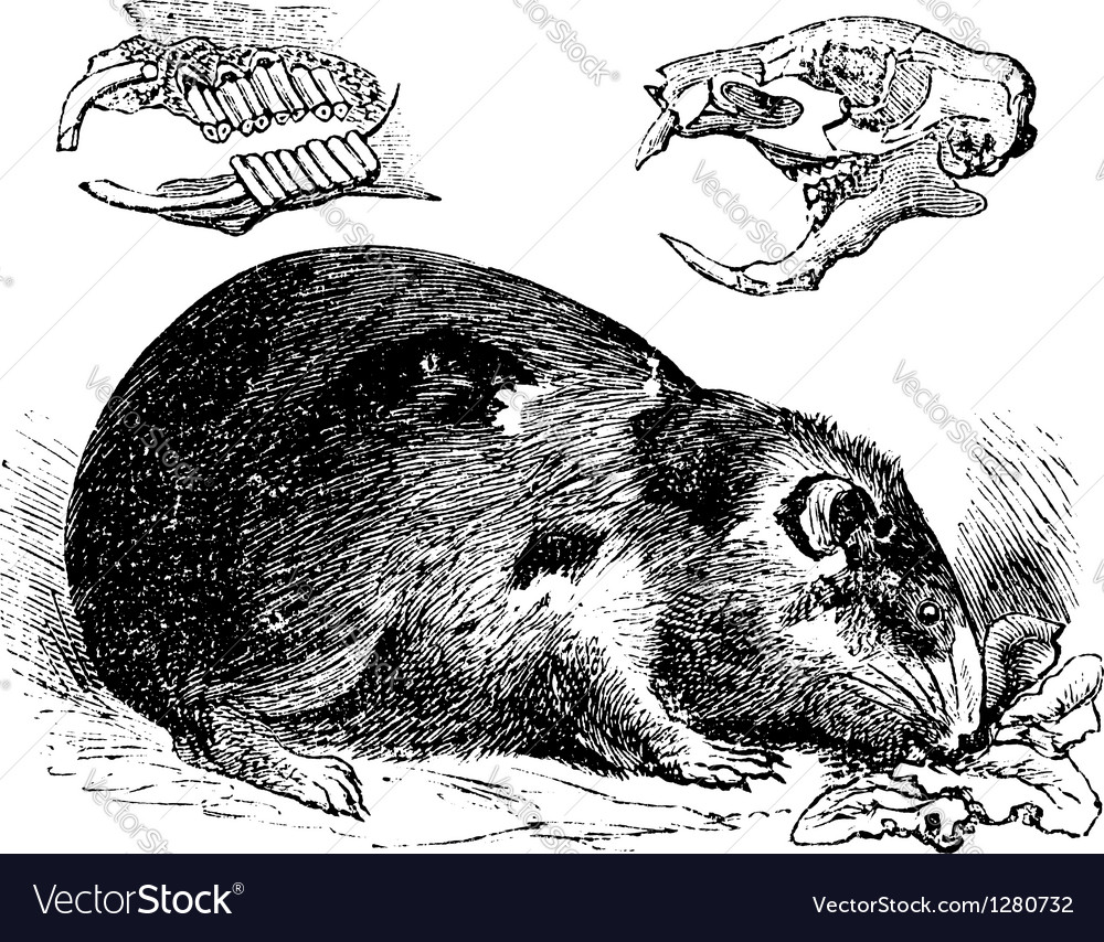 Guinea pig vintage engraving vector | Price: 1 Credit (USD $1)