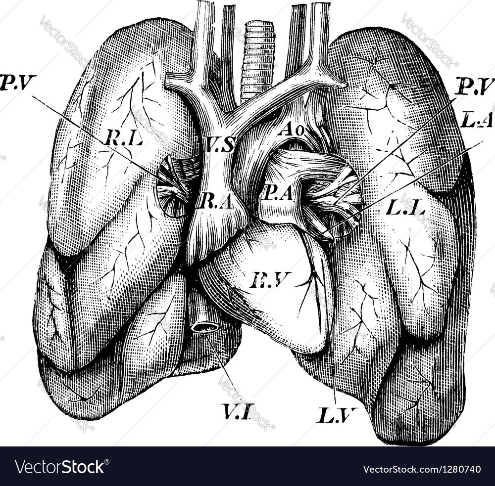 Human heart lungs engraving vector | Price: 1 Credit (USD $1)