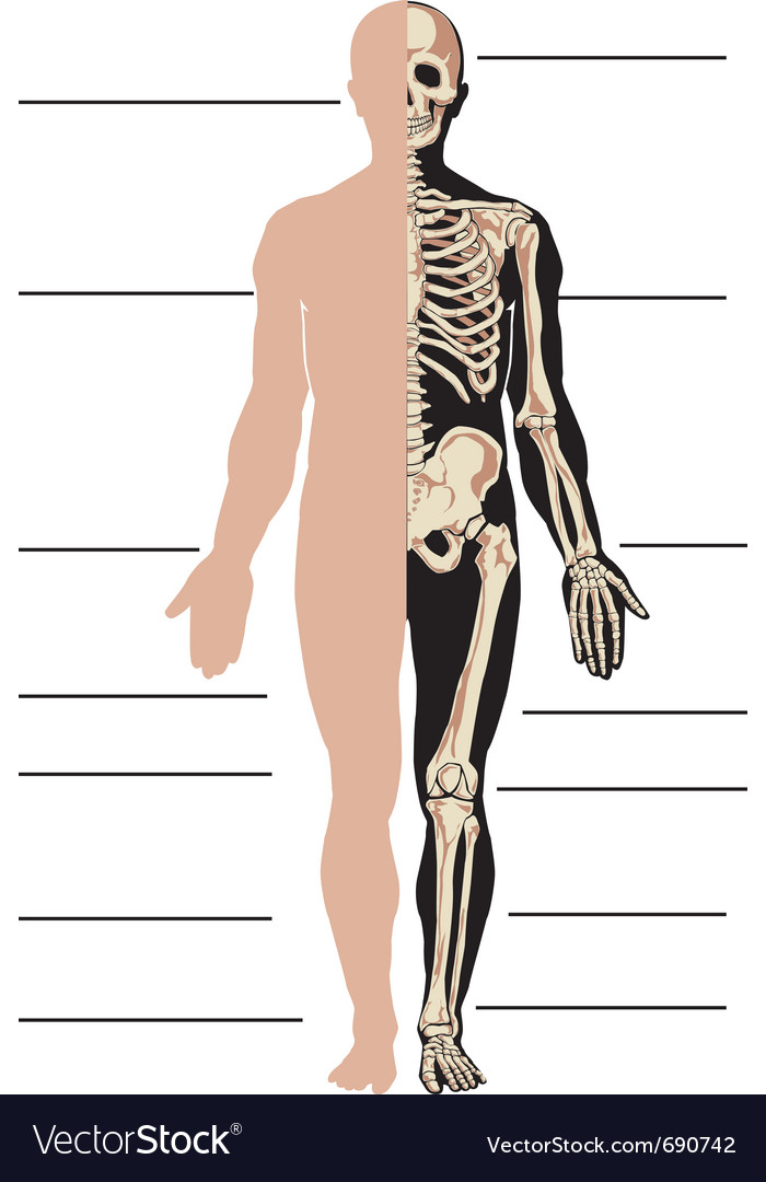 Body and skeleton male vector | Price: 1 Credit (USD $1)