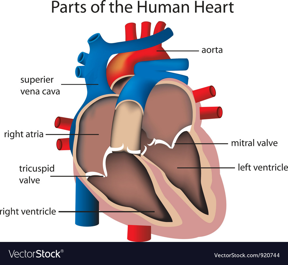 Parts of the heart vector | Price: 1 Credit (USD $1)