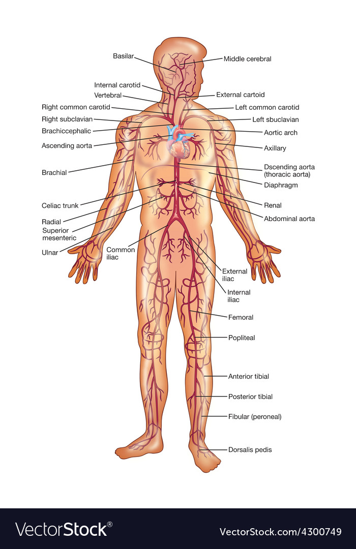 Arteries of the human body vector | Price: 3 Credit (USD $3)