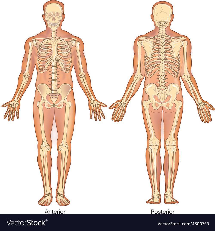 Skeleton anterior posterior views vector   Price: 3 Credit (USD $3)