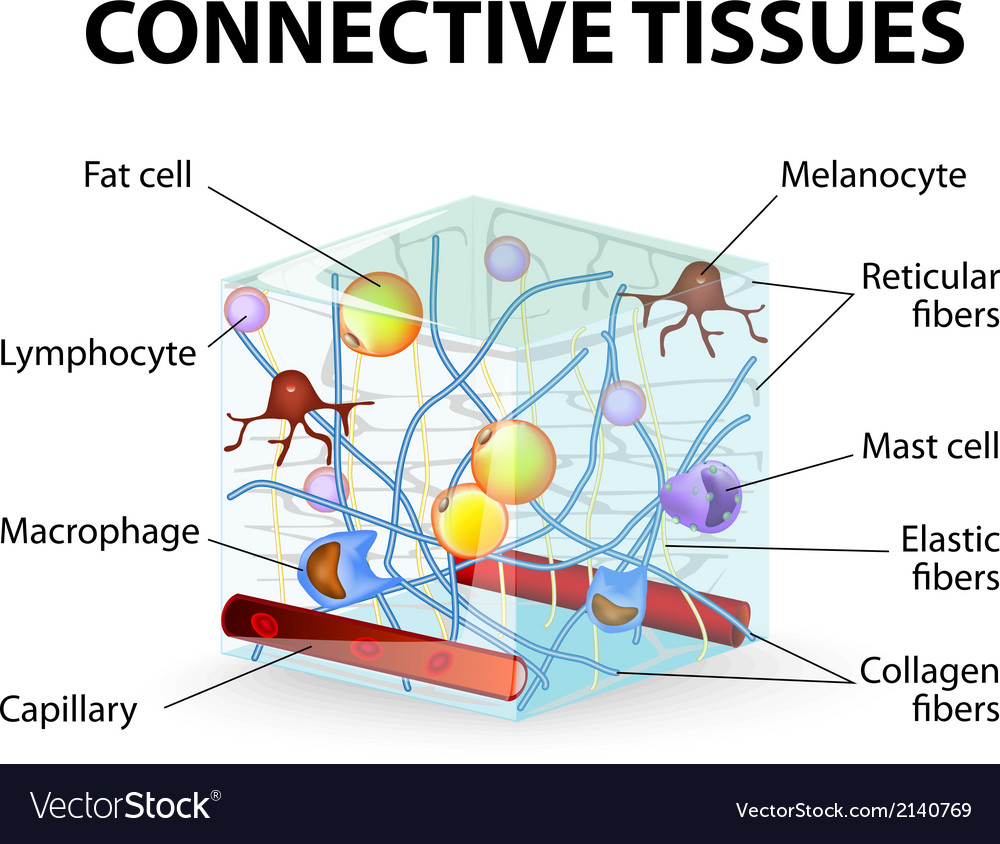 Connective tissue vector | Price: 1 Credit (USD $1)