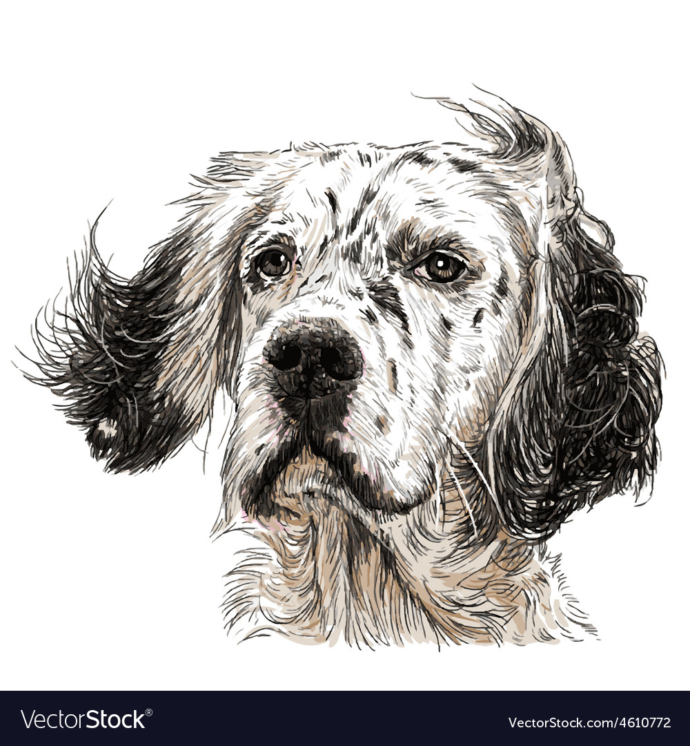 English setter 04 vector | Price: 3 Credit (USD $3)