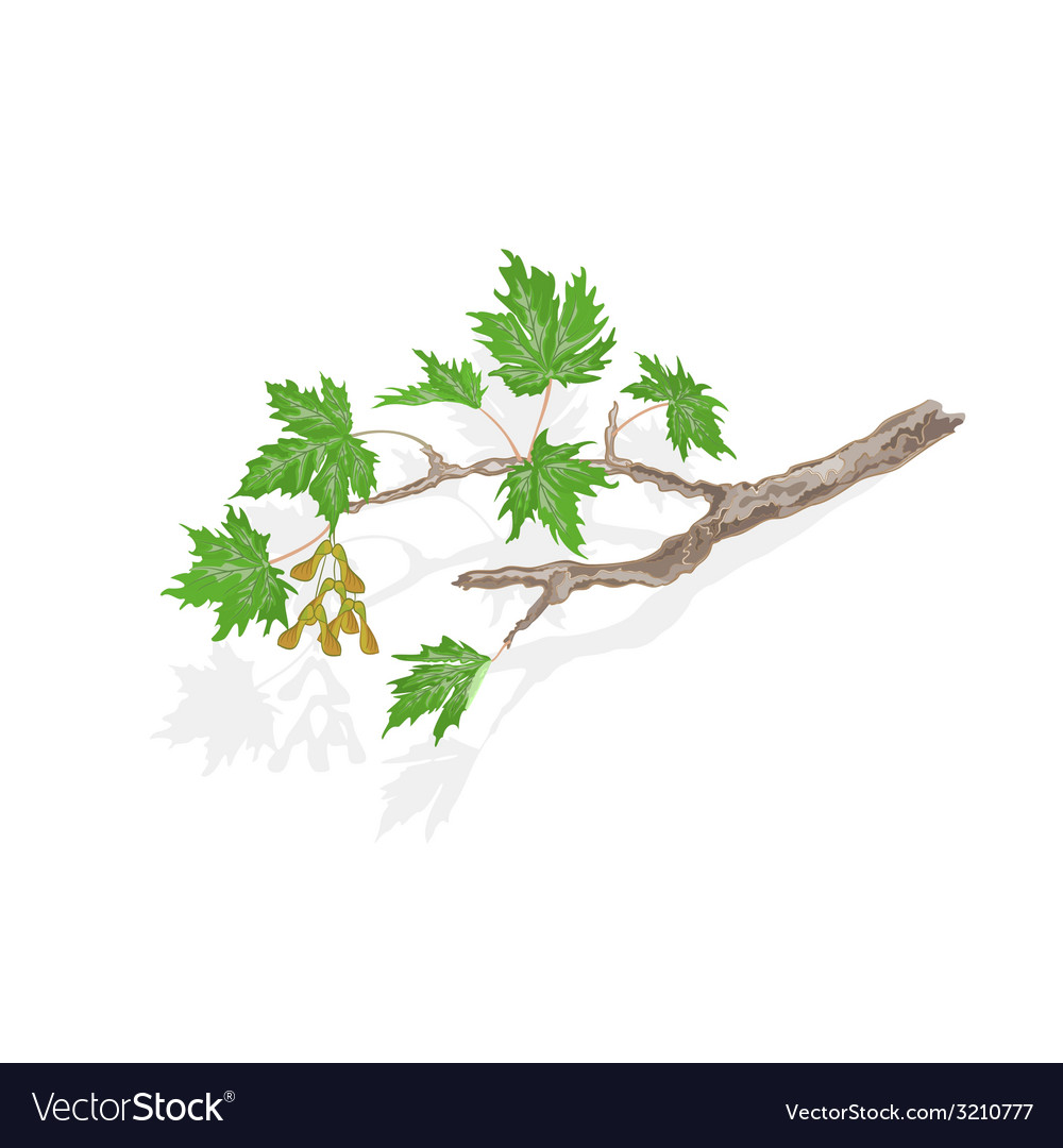 Maple branch and leaves on white background vector | Price: 1 Credit (USD $1)