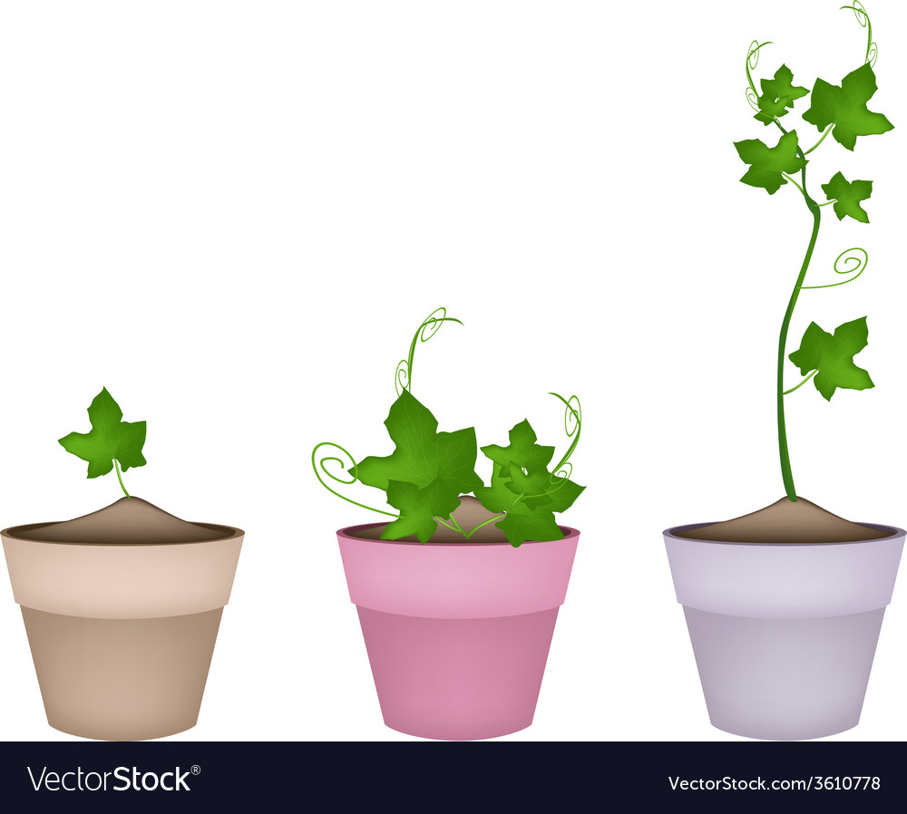 Green chayote plants in ceramic flower pots vector | Price: 1 Credit (USD $1)