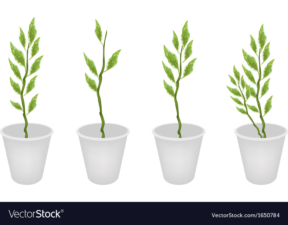 Set of pedilanthus tithymaloides in a flower pot vector | Price: 1 Credit (USD $1)