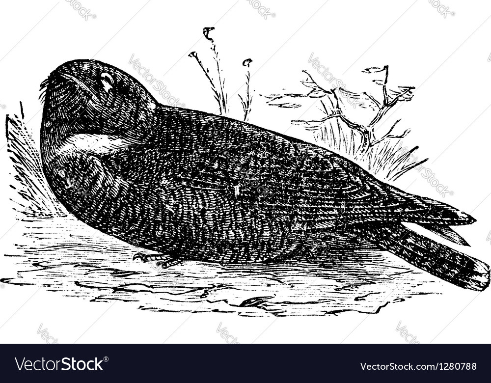 Spotted nightjar vintage engraving vector | Price: 1 Credit (USD $1)