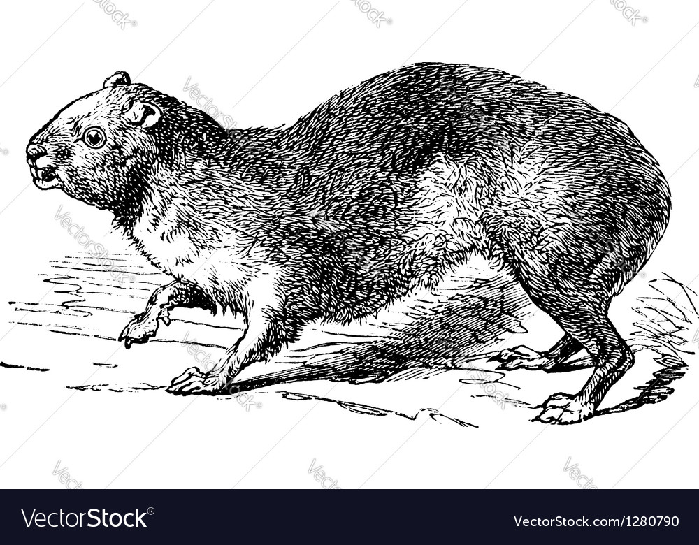 Rock hyrax vintage engraving vector | Price: 1 Credit (USD $1)