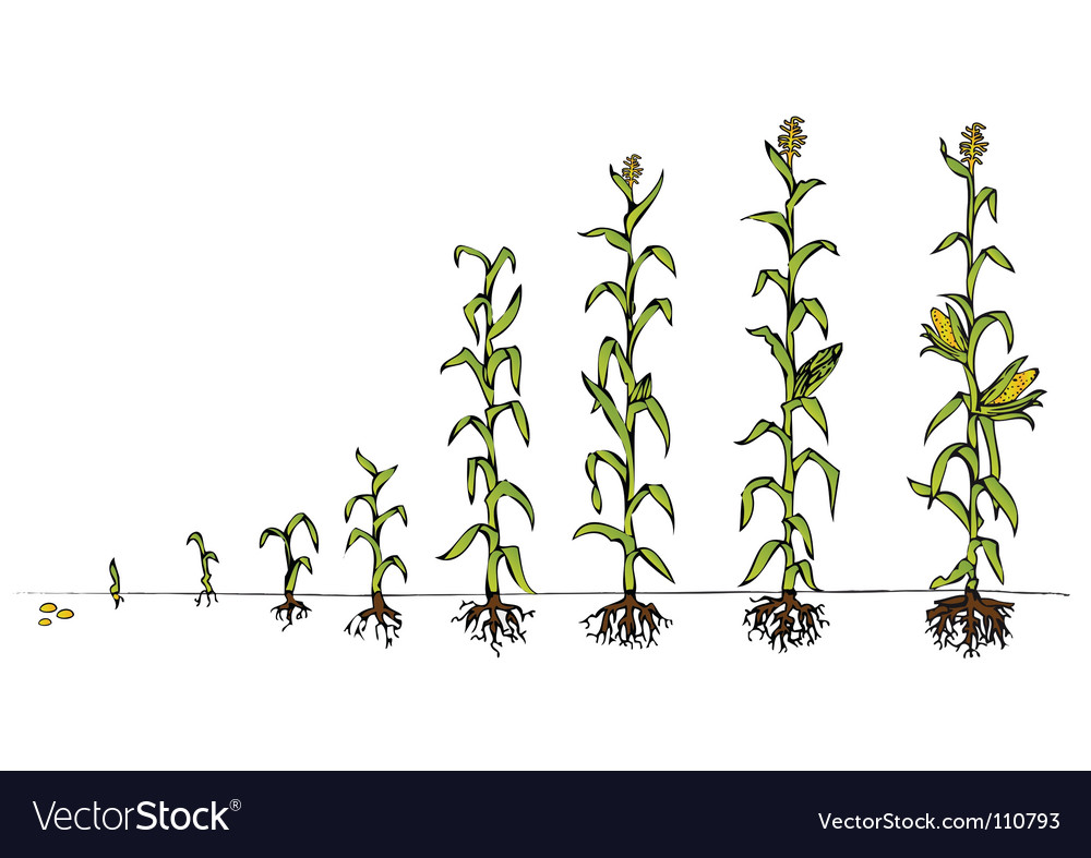 Maize development vector | Price: 1 Credit (USD $1)