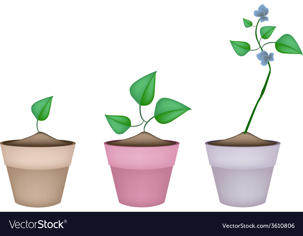 Winged bean plants in ceramic flower pots vector | Price: 1 Credit (USD $1)