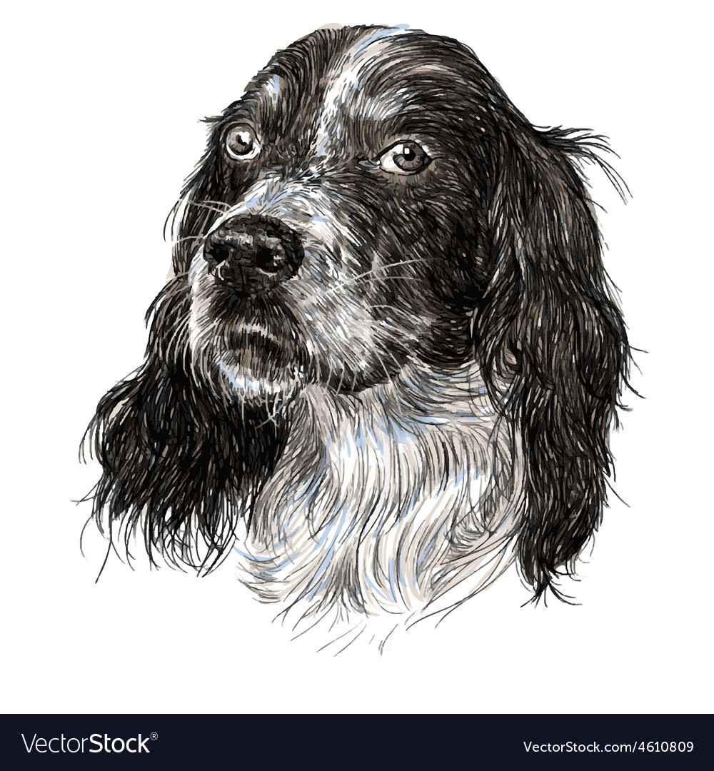 English setter 05 vector | Price: 3 Credit (USD $3)