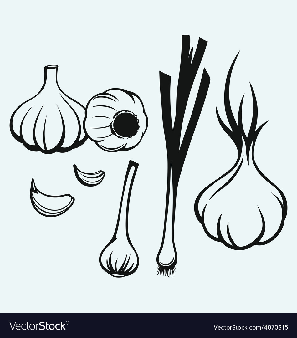 Heads of garlic vector | Price: 1 Credit (USD $1)