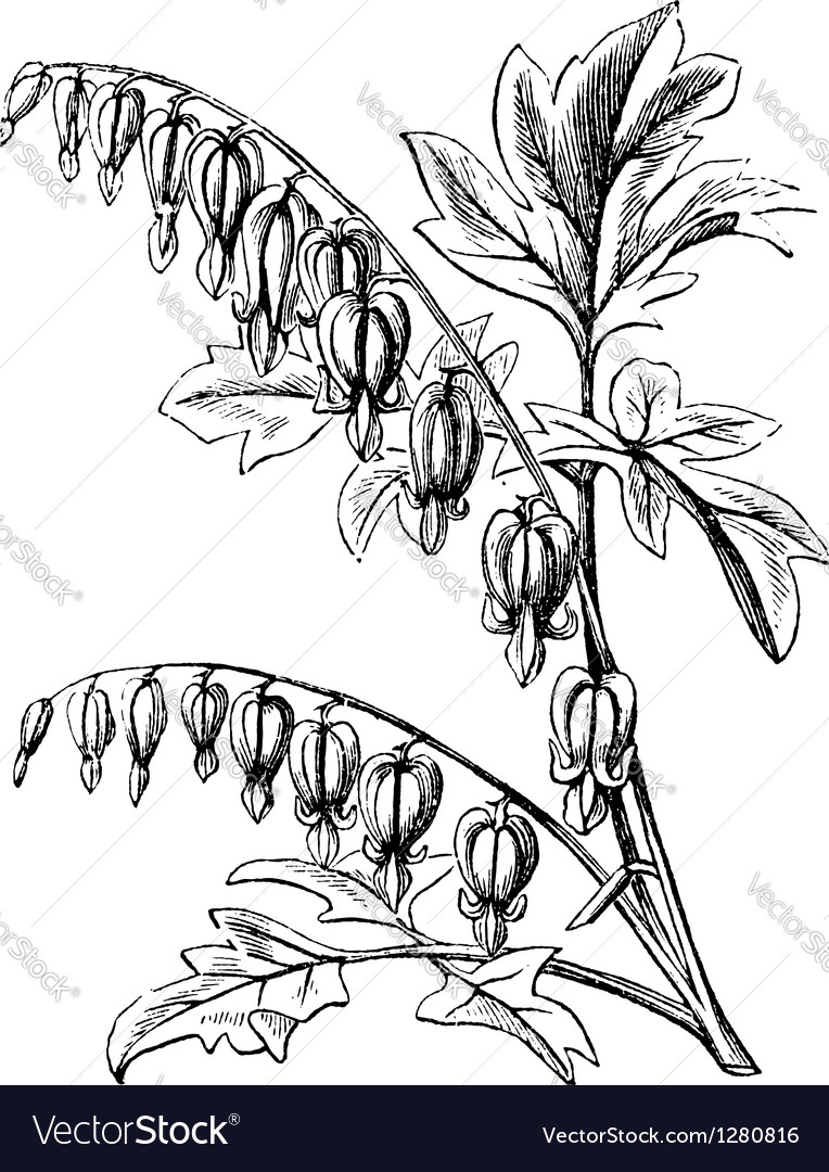 Bleeding-heart vintage engraving vector | Price: 1 Credit (USD $1)
