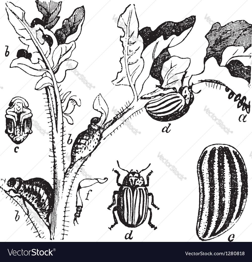 Colorado potato beetle engraving vector   Price: 1 Credit (USD $1)