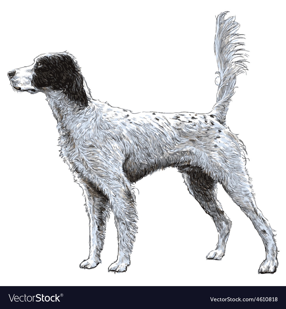 English setter 07 vector | Price: 3 Credit (USD $3)