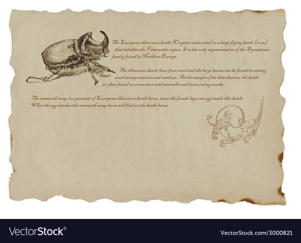 Beetle - european rhinoceros vector | Price: 1 Credit (USD $1)
