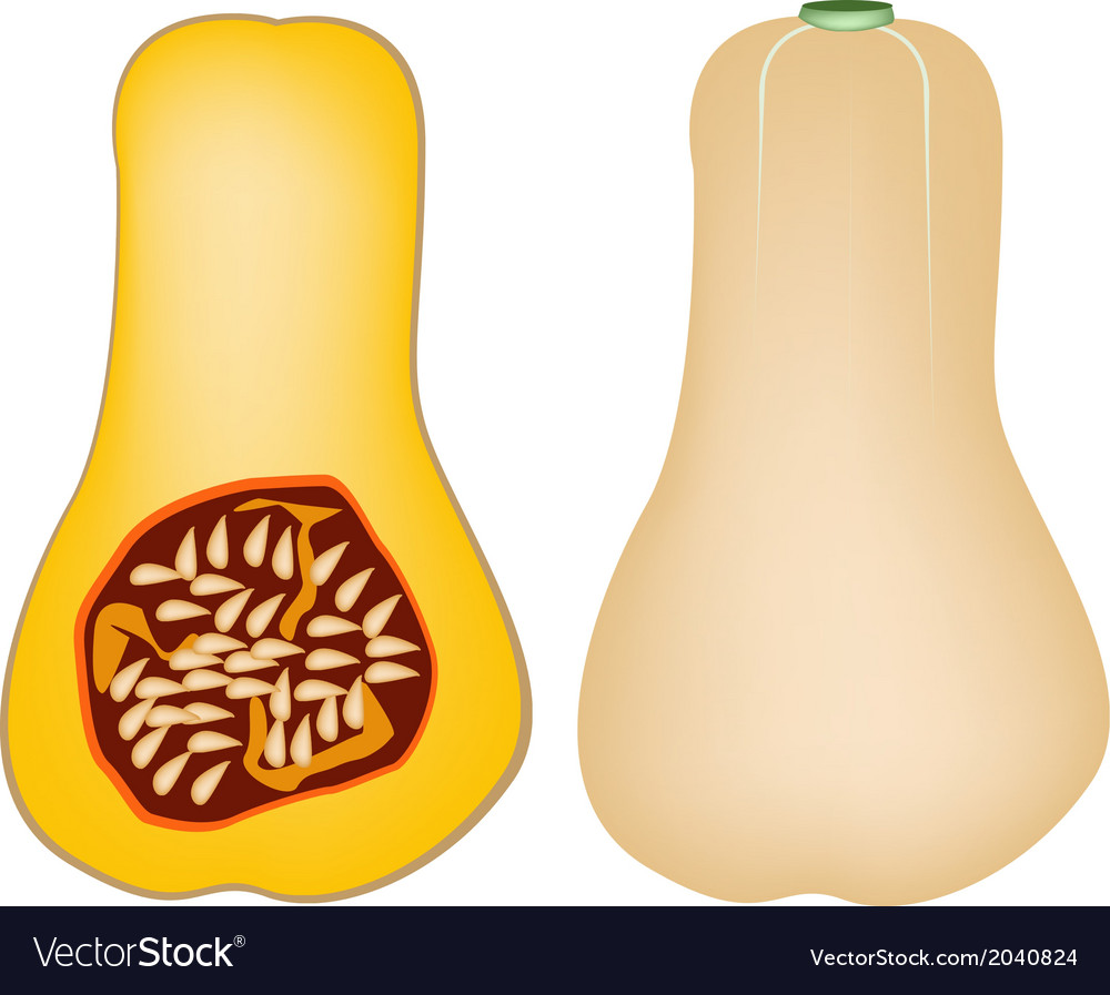 Two butternut squash on a white background vector | Price: 1 Credit (USD $1)