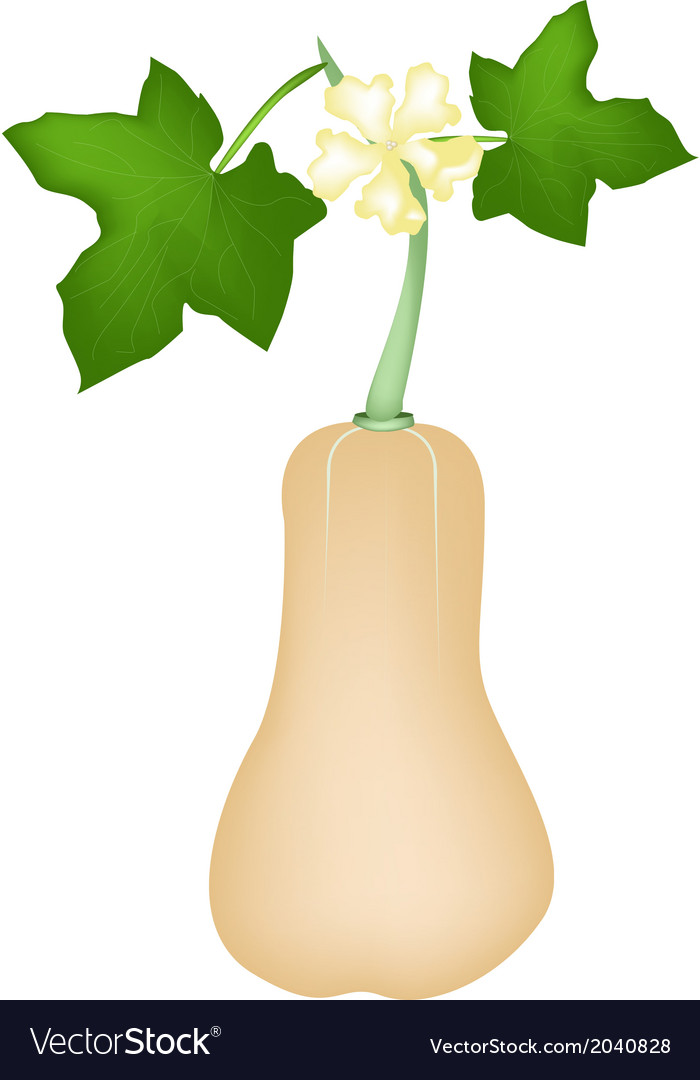 Fresh butternut squash plant on white background vector | Price: 1 Credit (USD $1)